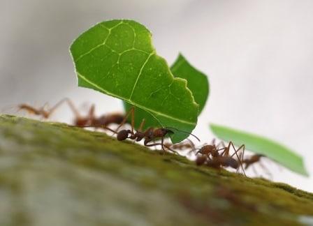 Hormigas-voladoras-u-hormigas-con-alas10