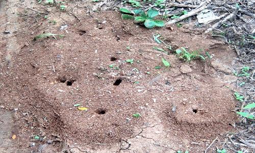 Hormigas-voladoras-u-hormigas-con-alas11