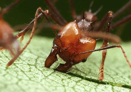 Hormigas-voladoras-u-hormigas-con-alas13