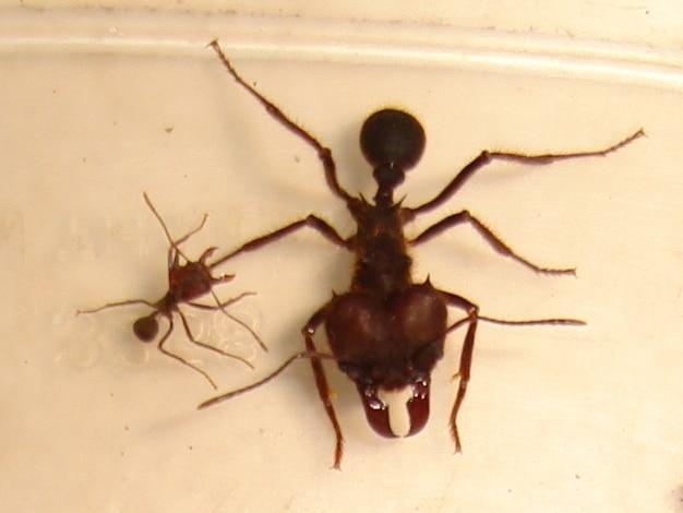 Hormigas-voladoras-u-hormigas-con-alas14