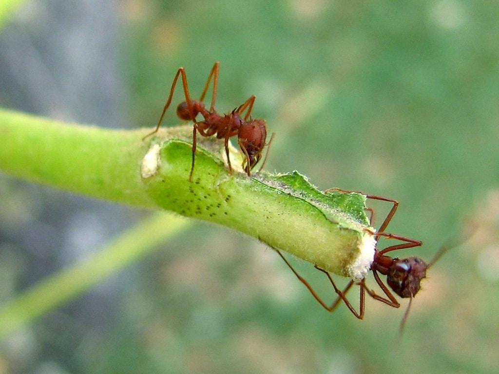 Hormigas-voladoras-u-hormigas-con-alas3
