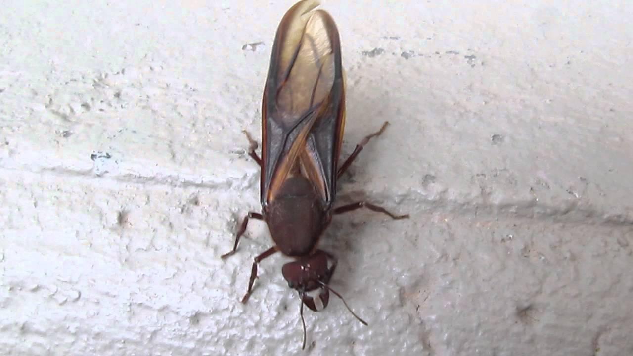 Hormigas-voladoras-u-hormigas-con-alas4