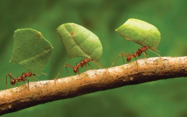 Hormigas-voladoras-u-hormigas-con-alas5