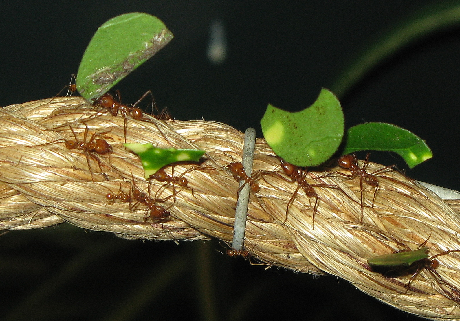 Hormigas-voladoras-u-hormigas-con-alas6