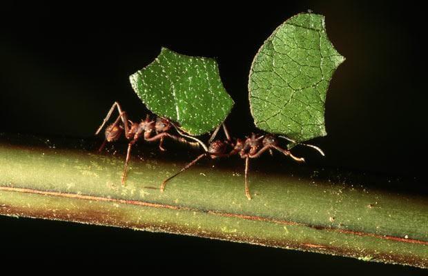 Hormigas-voladoras-u-hormigas-con-alas7