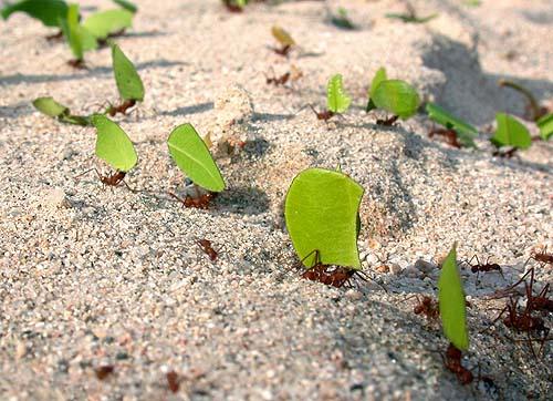 Hormigas voladoras u hormigas con alas