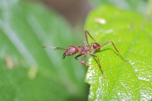 Hormigas-voladoras-u-hormigas-con-alas9