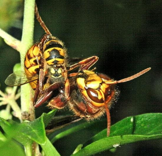 Hornet-capture