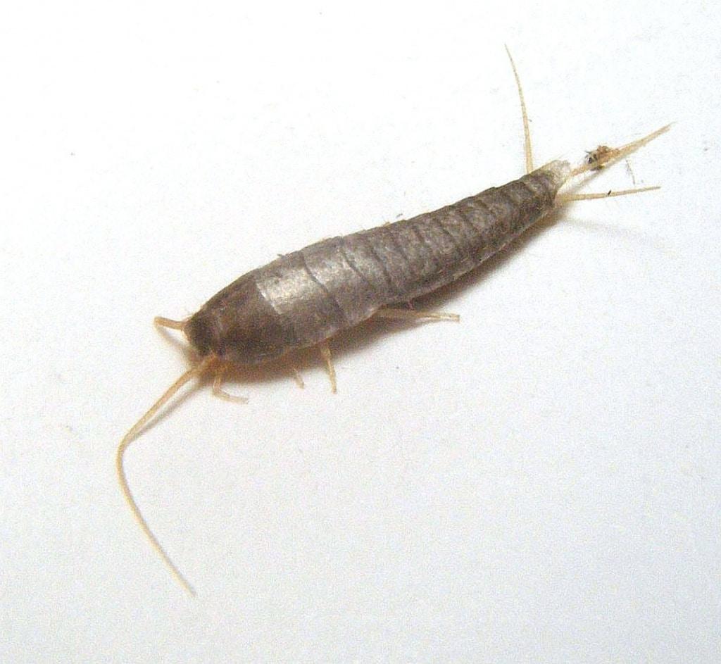 Lepisma-saccharina4