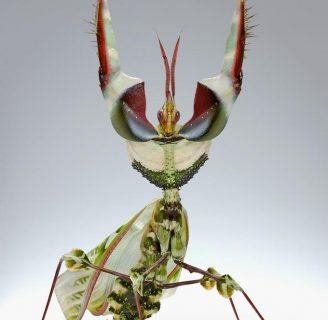 Mantis flor del diablo o mantis diabólica: Lo que debes saber
