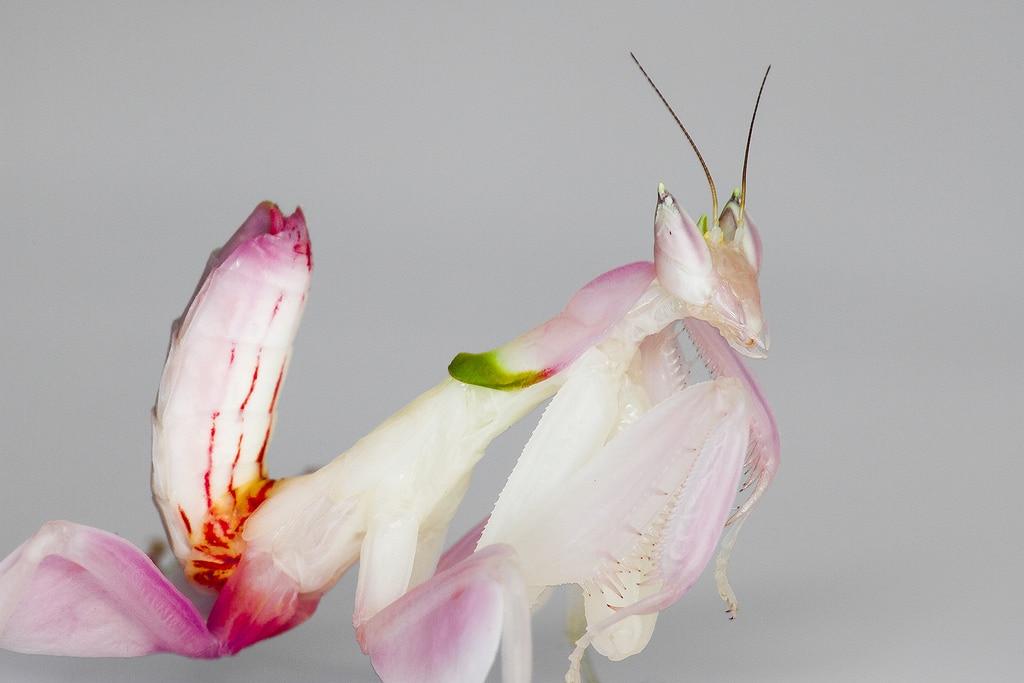 Mantis-religiosa-orquídea3
