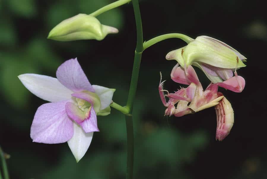 Mantis-religiosa-orquídea5