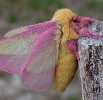 Mariposa rosa: Todo lo que debes saber sobre ella