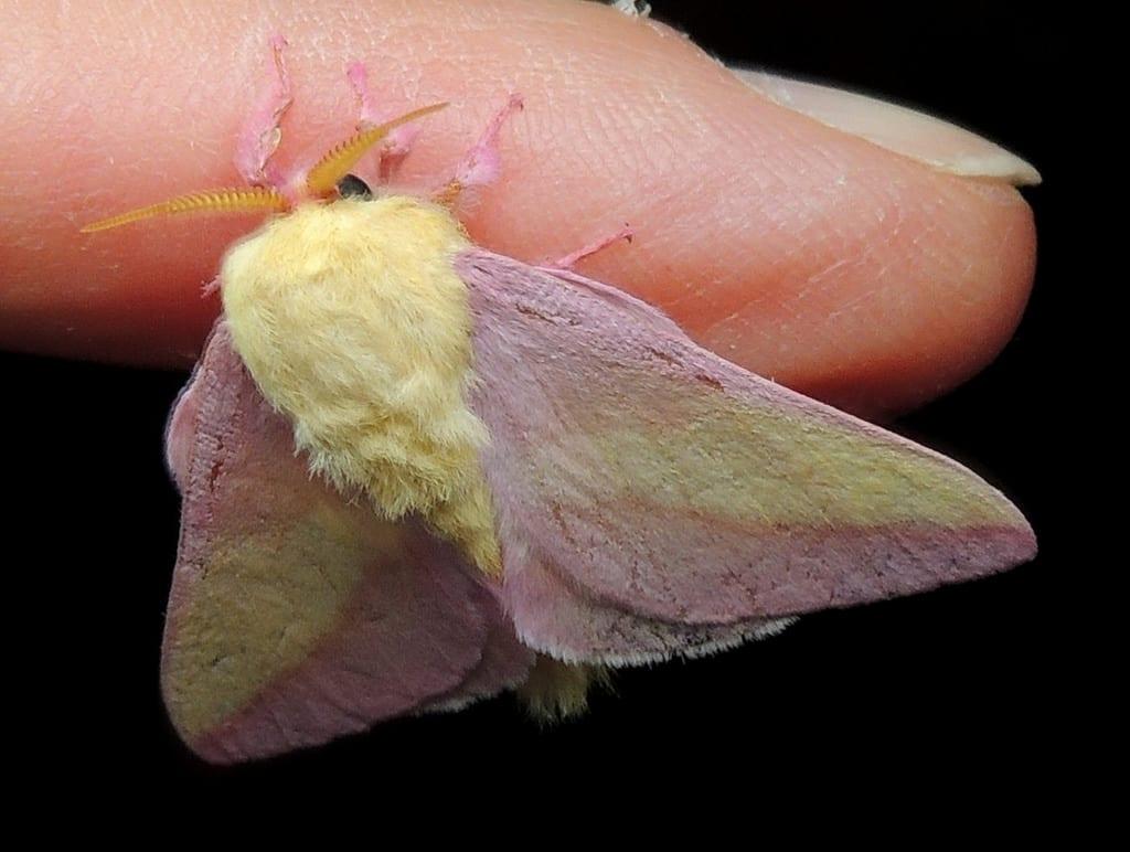 Mariposa-rosa2