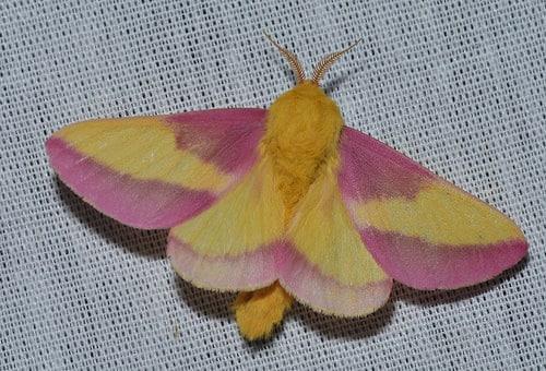 Mariposa-rosa4