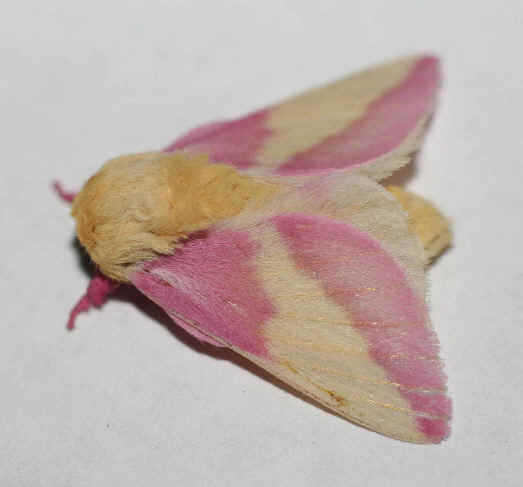 Mariposa-rosa5