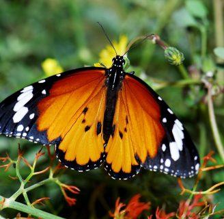 Mariposa tigre: Todo lo que deberías saber sobre ella