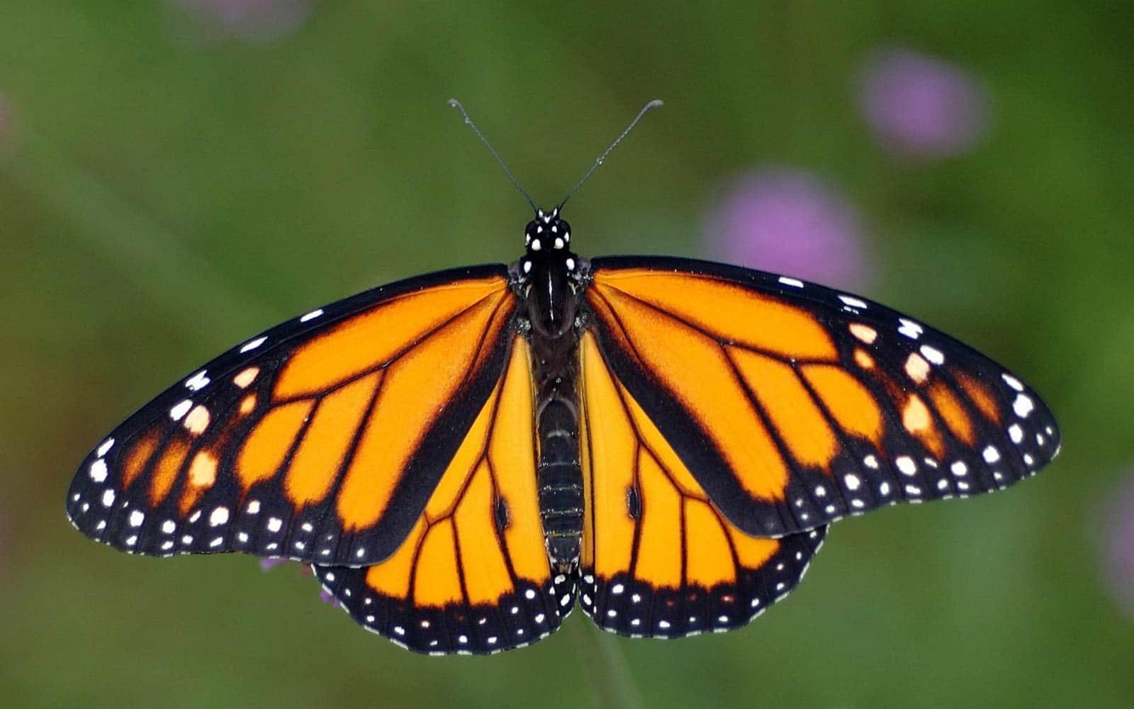 Mariposa-tigre2