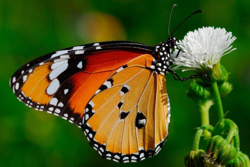 Mariposa-tigre3
