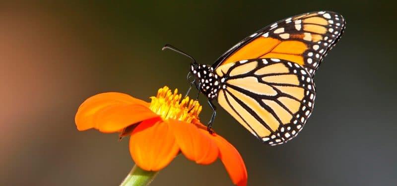 Mariposa-tigre5