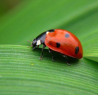 Mariquitas de la suerte: Conoce esta particularidad de estos insectos
