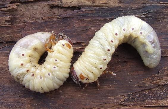 Metamorfosis-del-escarabajo2