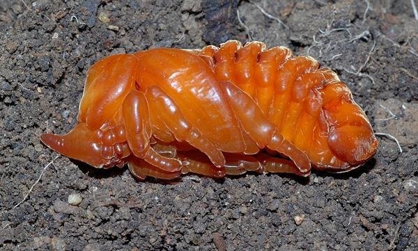 Metamorfosis-del-escarabajo3