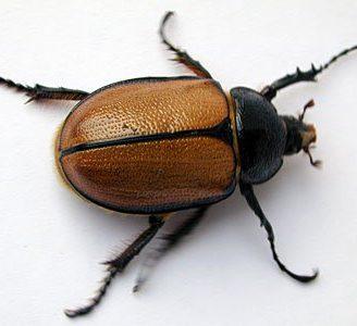 Metamorfosis del escarabajo: Todo lo que se debe saber sobre ellos