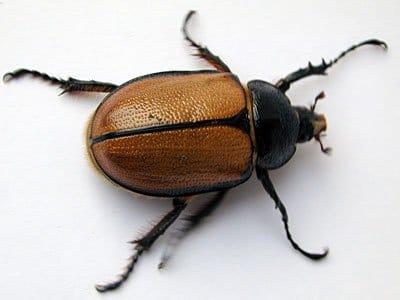 metamorfosis del escarabajo