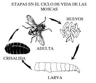 Moscas ciclo