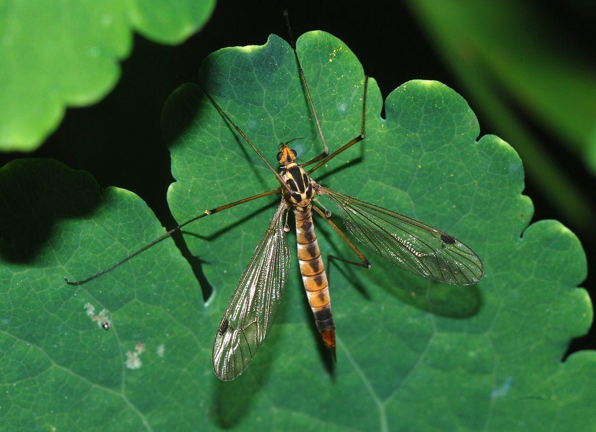 Mosquito gigante