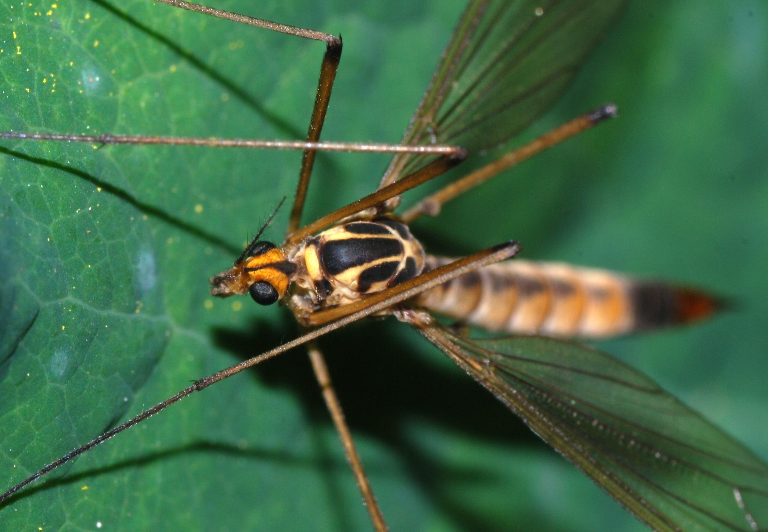Mosquito-gigante2