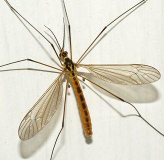 Mosquito gigante: Todo lo que debes saber
