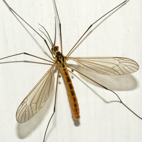 Mosquito-gigante3