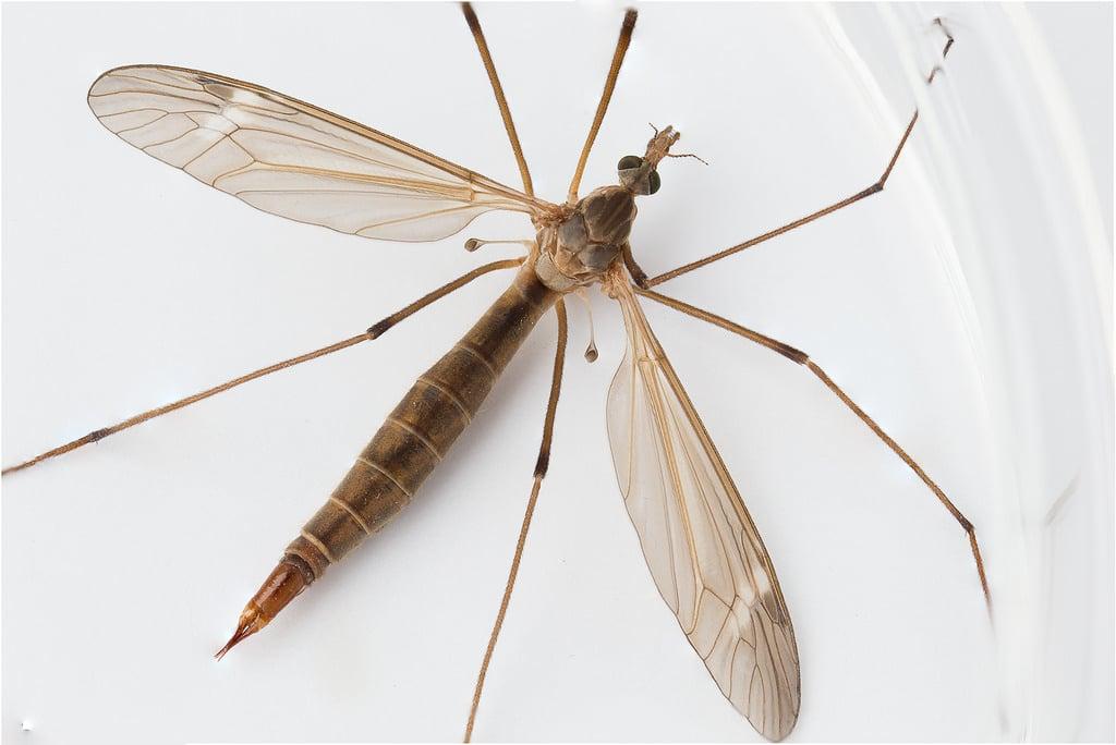 Mosquito-gigante4