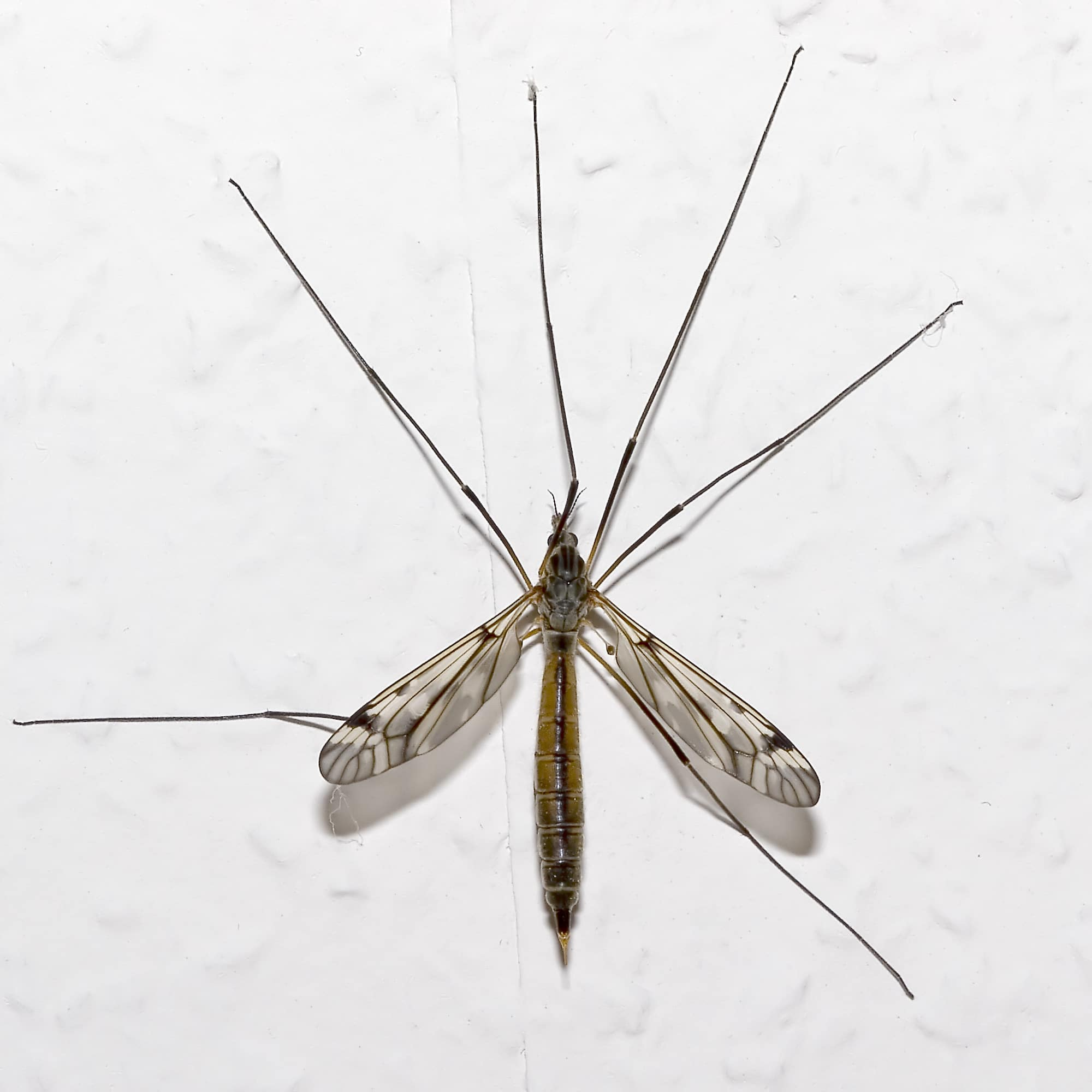 Mosquito-gigante5