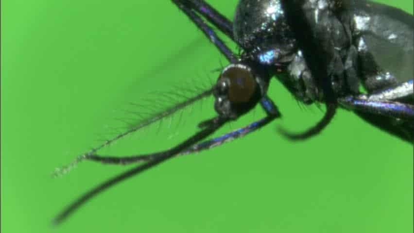 Mosquito-haemagogus2