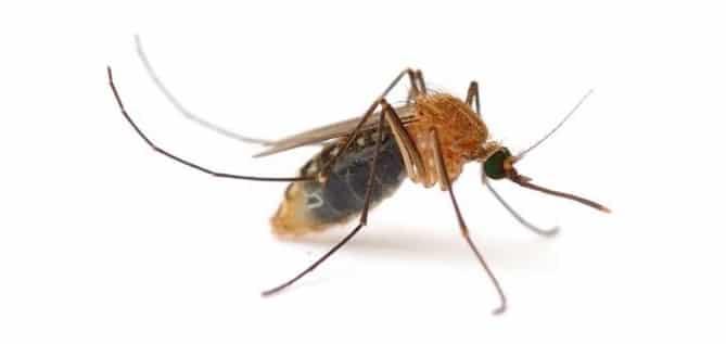 Mosquito leishmaniasis