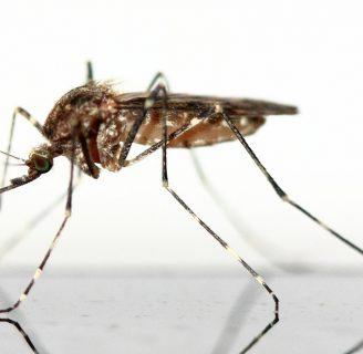 Mosquito leishmaniasis: Picadura, sintomas, vacuna y más