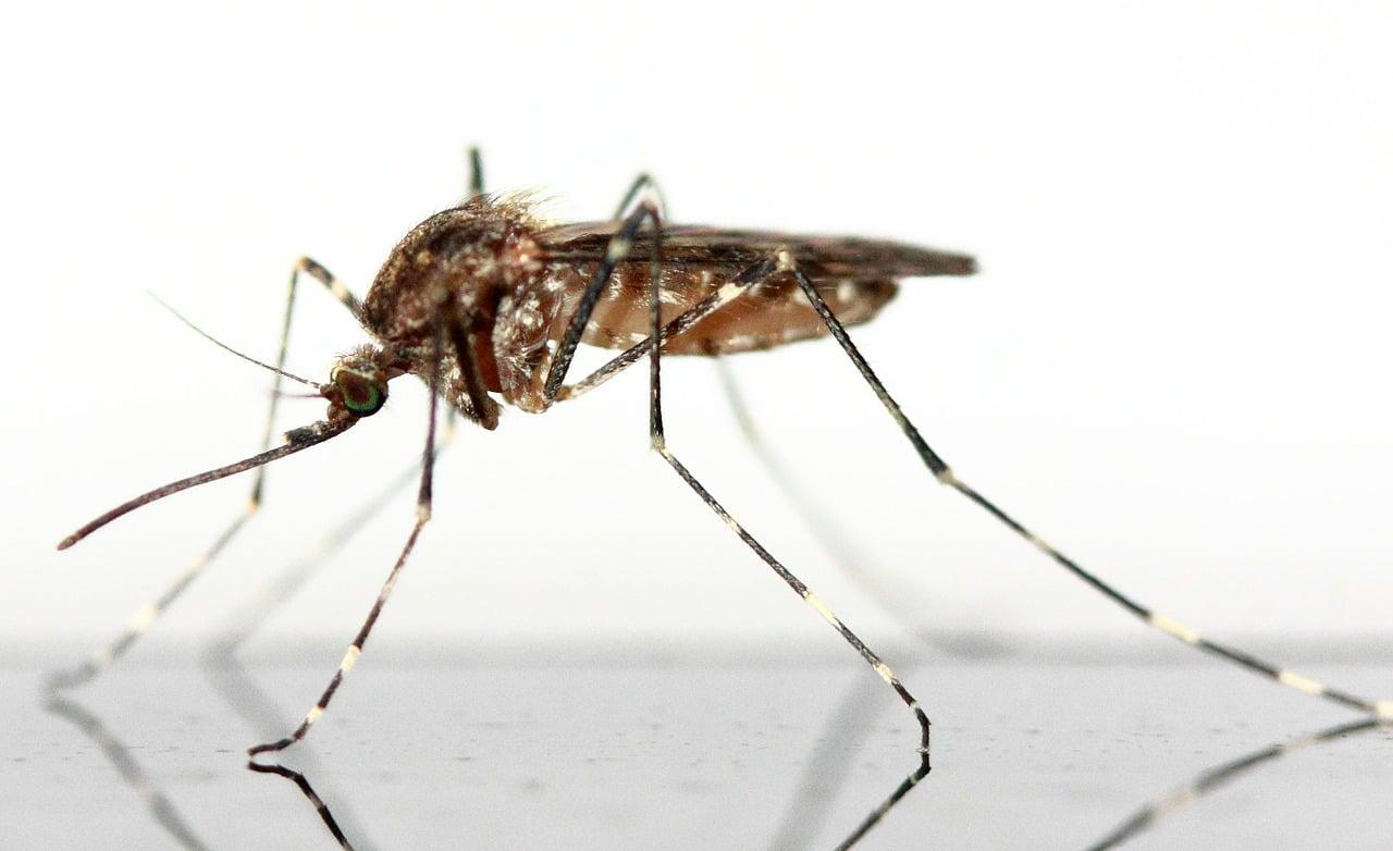 Mosquito-leishmaniasis2