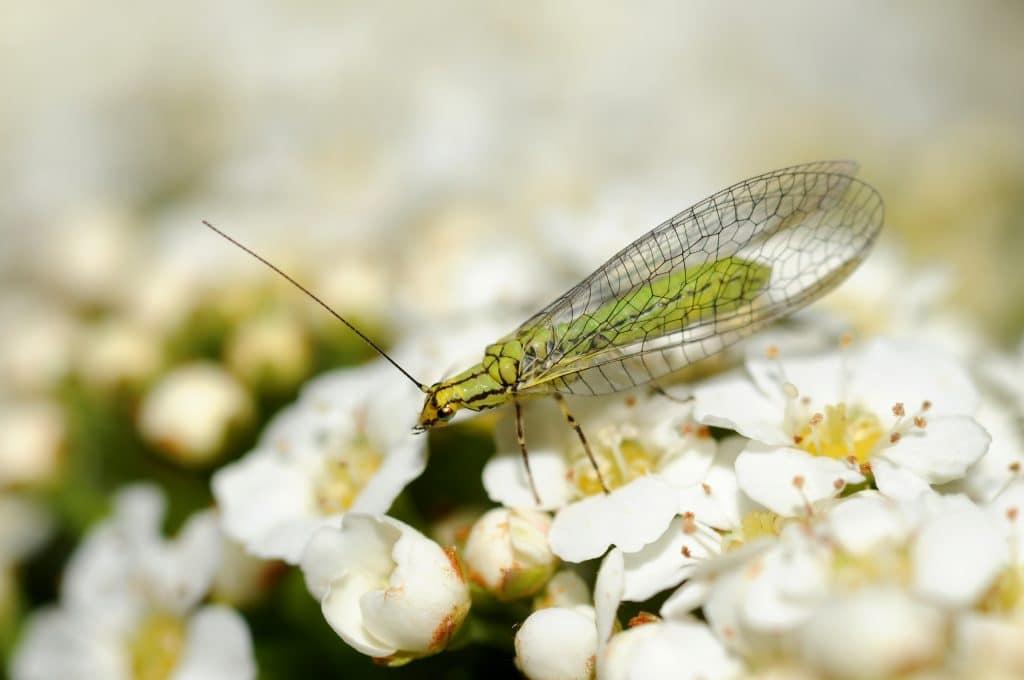 Mosquito verde