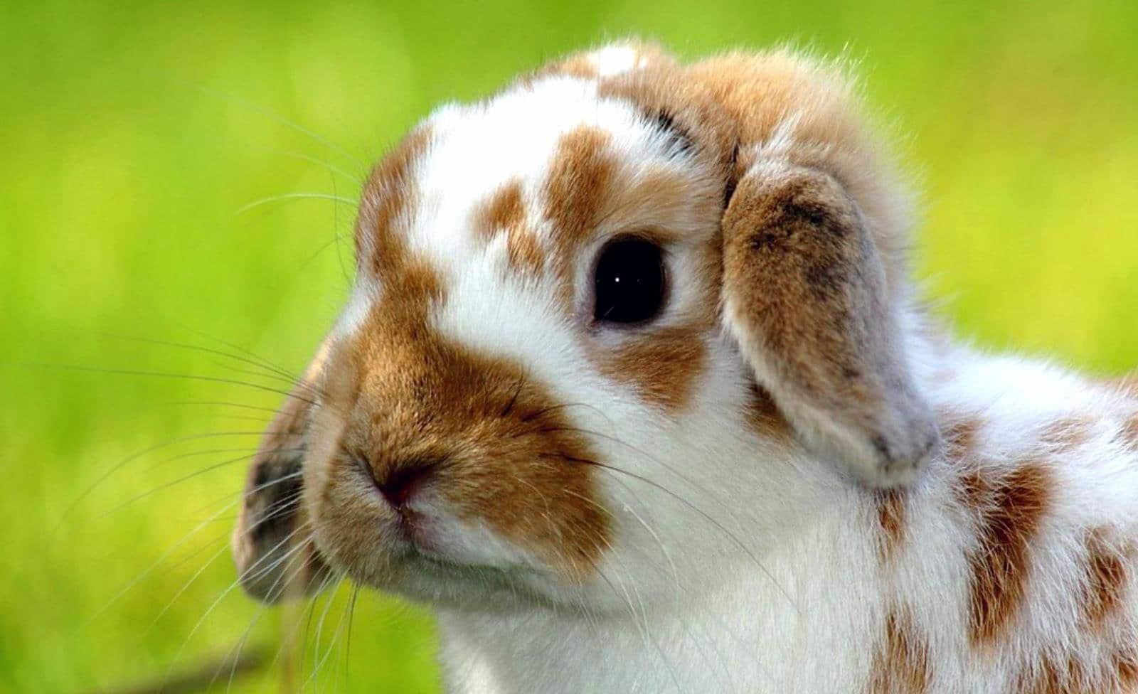 Pulgas-en-conejos2