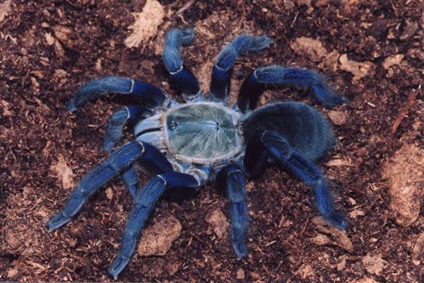 Tarántula-azul-cobalto4