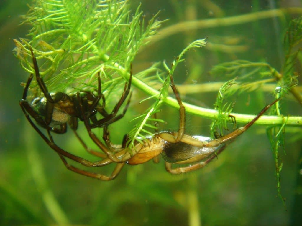 Spider Crab Size Tipos de arañas: ...