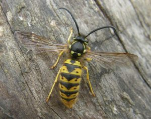 Vespula-germanica_1sf