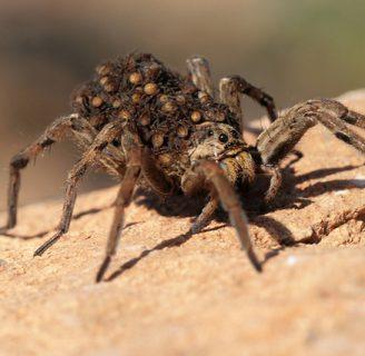 Araña lobo: Picadura, veneno y mucho más