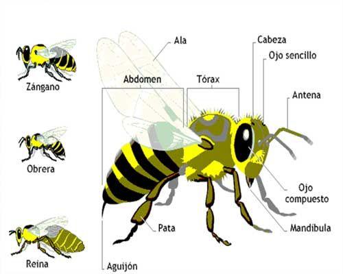 Avispa africana: Características, picadura, nido y mucho más.