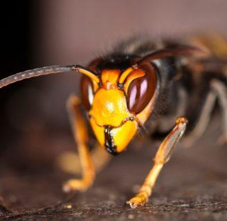 Avispa asiatica o avispa velutina: Picadura, nido, trampas y más