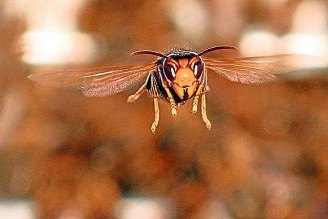 avispa asiatica o avispa velutina9
