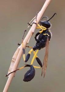 Avispa alfarera: Picadura, tipos, nido y más